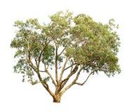 Albero di eucalyptus Fotografia Stock Libera da Diritti