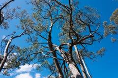 Albero di eucalyptus Immagine Stock