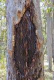 Albero di eucalyptus australiano Immagini Stock