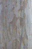 Albero di eucalyptus australiano Fotografia Stock Libera da Diritti