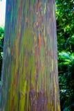 Albero di eucalyptus dell'arcobaleno Immagini Stock