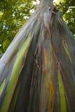 Albero di eucalyptus dell'arcobaleno Fotografia Stock Libera da Diritti
