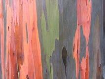 Albero di eucalyptus dell'arcobaleno di eucalyptus deglupta che cresce sull'isola di Kauai in Hawai Fotografie Stock Libere da Diritti