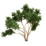 Albero di eucalyptus isolato Fotografia Stock Libera da Diritti