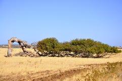 Albero di eucalyptus pendente Australia occidentale Fotografia Stock