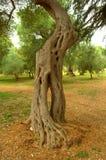 Albero di eucalyptus pittoresco Immagini Stock