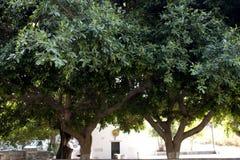 Albero di eucalyptus sul verde dell'isola di kos fotografia stock libera da diritti