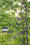 Albero di faggio davanti al tramonto Fotografie Stock
