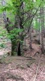 Albero di faggio di vecchia crescita in foresta Fotografie Stock Libere da Diritti