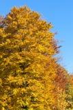 Albero di faggio giallo vibrante con il fogliame di autunno contro una b soleggiata Fotografia Stock Libera da Diritti