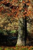 Albero di faggio in Sapperton, Gloucestershire Fotografia Stock Libera da Diritti