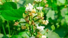 Albero di fagiolo con il fagiolo ed il fiore fotografia stock
