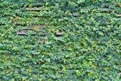 Albero di fico e parete rampicanti del bambù Immagine Stock