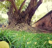Albero di ficus al tempio di letteratura a Hanoi Fotografie Stock Libere da Diritti