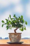 Albero di ficus dei bonsai Fotografia Stock Libera da Diritti