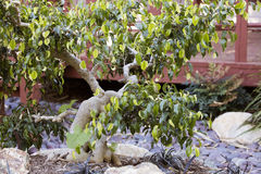 Albero di ficus dei bonsai in giardino botanico Immagine Stock