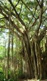 Albero di ficus, Hawai Fotografia Stock
