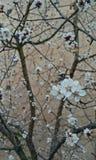 albero di fioritura Fotografia Stock