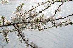 Albero di fioritura Fotografia Stock Libera da Diritti