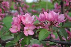 albero di fioritura Immagine Stock