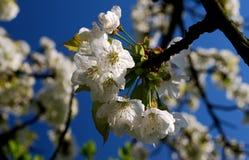 albero di fioritura Fotografie Stock Libere da Diritti