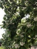 albero di fioritura Immagine Stock Libera da Diritti