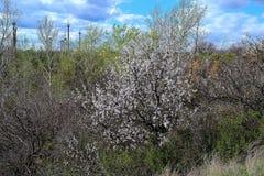Albero di fioritura ad aprile Fotografie Stock Libere da Diritti