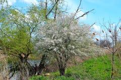 Albero di fioritura ad aprile Immagini Stock Libere da Diritti