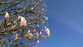 Albero di fioritura con cielo blu Immagine Stock