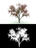 Albero di fioritura con il fiore dentellare isolato su bianco Fotografia Stock Libera da Diritti