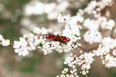 Albero di fioritura con la farfalla sul ramo Immagine Stock Libera da Diritti