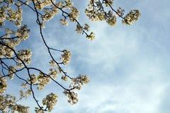 Albero di fioritura contro il cielo Fotografie Stock