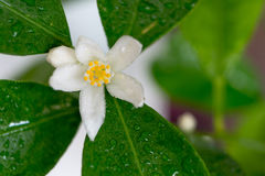 Albero di fioritura del calamondin Fotografia Stock