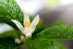 Albero di fioritura del calamondin Fotografia Stock Libera da Diritti