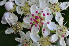 Albero di fioritura del cratego fotografie stock