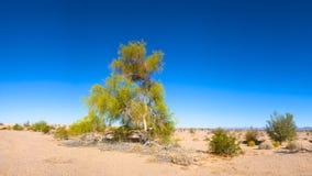 Albero di fioritura del deserto fotografia stock