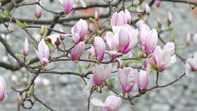 Albero di fioritura del fiore della magnolia nella città video d archivio