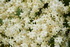 Albero di fioritura della bacca di sambuco o dell'anziano Fotografia Stock Libera da Diritti