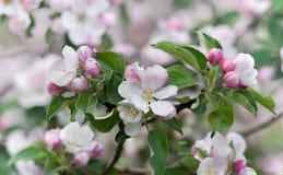 Albero di fioritura della bella molla, i fiori bianchi delicati di di melo Immagini Stock Libere da Diritti