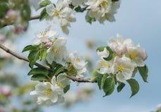 Albero di fioritura della bella molla, i fiori bianchi delicati di di melo Immagine Stock
