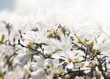 Albero di fioritura della magnolia fotografia stock libera da diritti