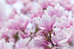Albero di fioritura della magnolia fotografie stock libere da diritti