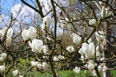 Albero di fioritura della magnolia Immagini Stock Libere da Diritti