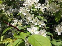 Albero di fioritura della primavera Immagini Stock
