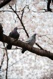 Albero di fioritura di sakura Fotografie Stock