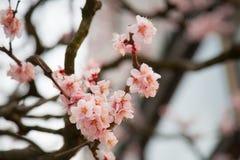 Albero di fioritura di sakura Fotografia Stock Libera da Diritti