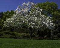 Albero di fioritura luminoso del fiore bianco Fotografia Stock