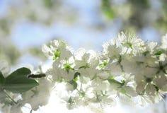Albero di fioritura meraviglioso Fotografie Stock Libere da Diritti