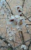 Albero di fioritura in primavera Immagine Stock