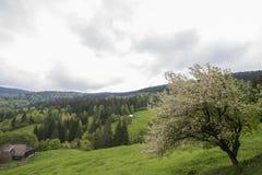 Albero di fioritura in primavera fotografie stock libere da diritti